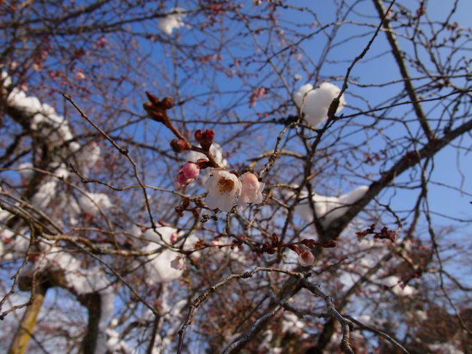 雪に咲く桜、実光院