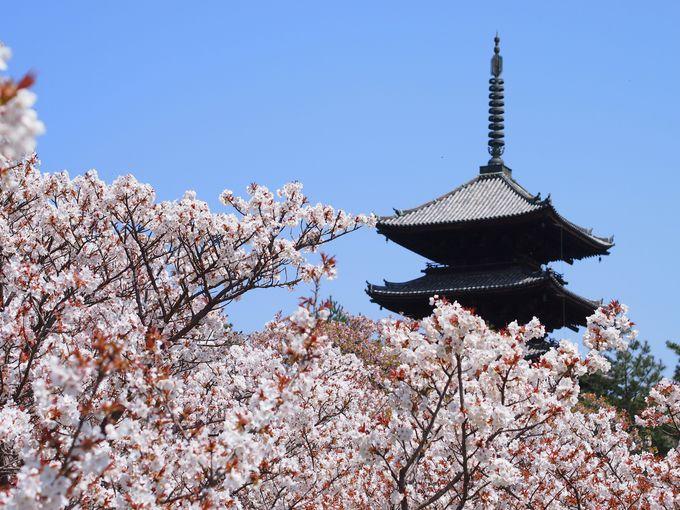 桜と五重塔 仁和寺