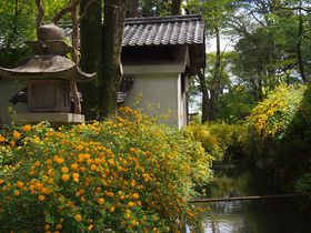 酒造りの神様、京都・松尾大社に3000株の山吹を見に行こう!