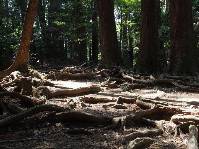 自然のたくましさを感じる木の根道