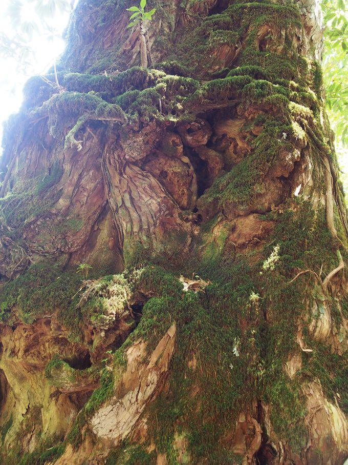 白谷雲水峡最大の屋久杉!奉行杉