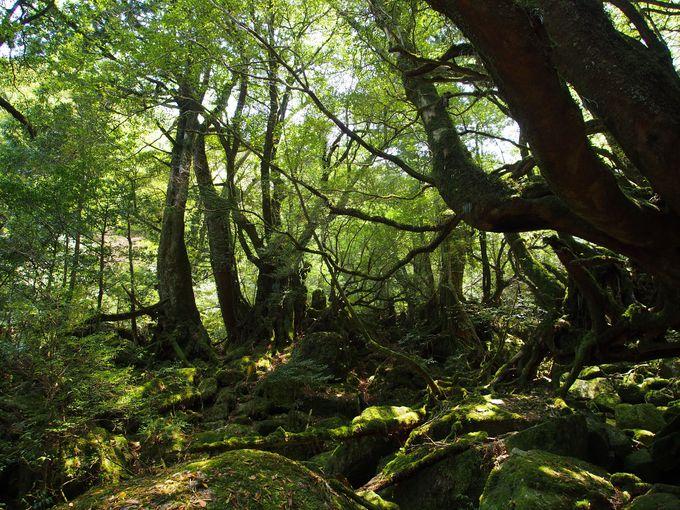 屋久島がはぐくんだ緑と静寂の世界!苔むす森