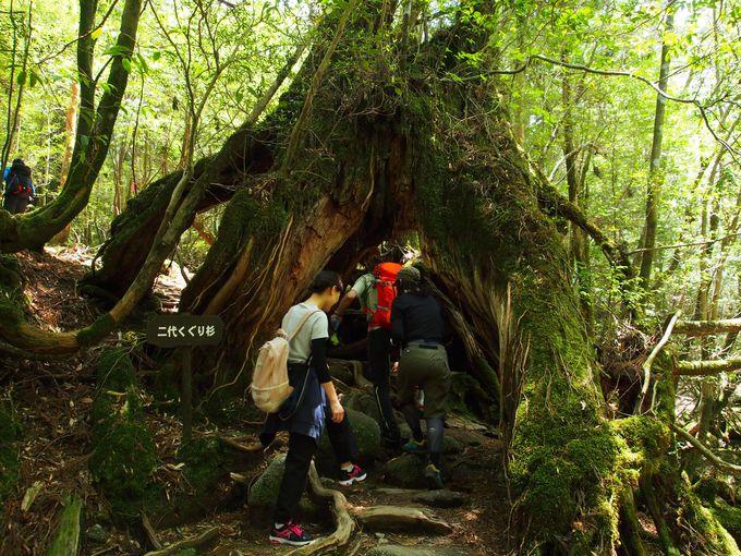 屋久島の環境と杉の生命力でできた自然の門、くぐり杉