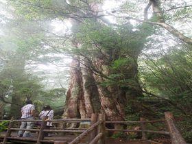 体力いらず!?屋久島・徒歩1時間以内で見に行ける「屋久杉」たち