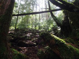 世界遺産・屋久島の「ヤクスギランド」は屋久杉&苔がいっぱい!