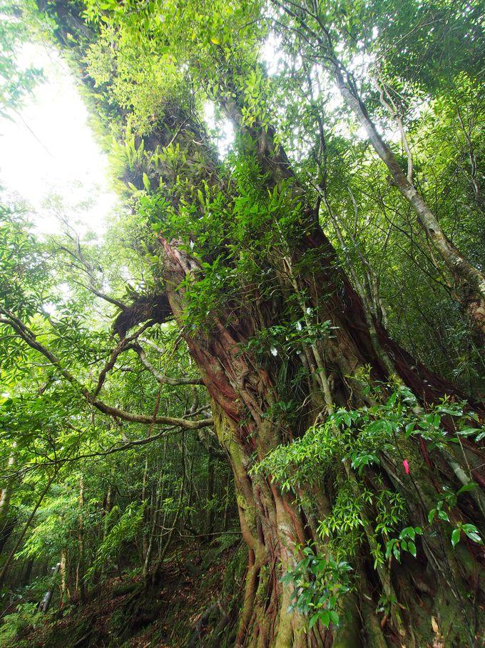 南国の樹・「あこう」の大木!