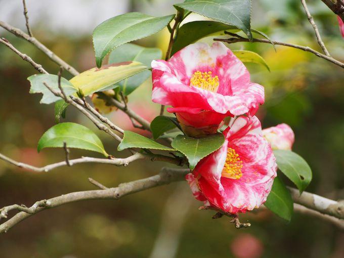 回遊式庭園で霊鑑寺の誇る名椿たちをめでる