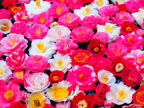 桜だけじゃない!京都「哲学の道」春の散歩は椿を見にいこう!