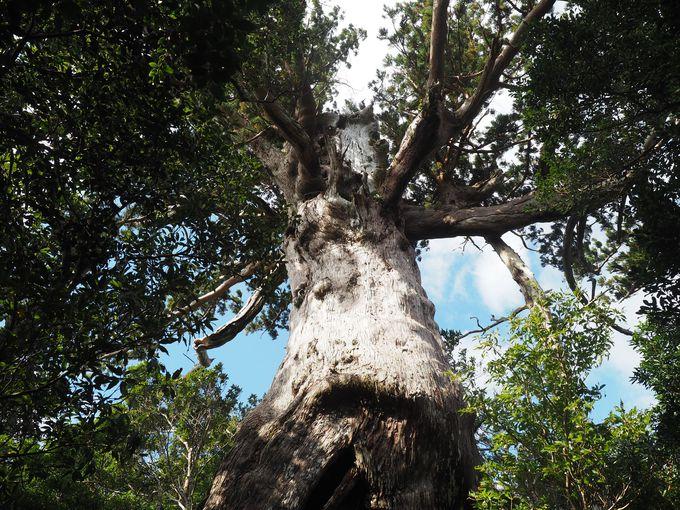 力強い生命力の屋久杉「万代杉」とご対面