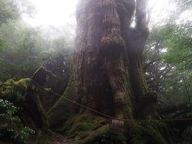 屋久島・大和杉!屋久杉第2の巨木を目指すトレッキング