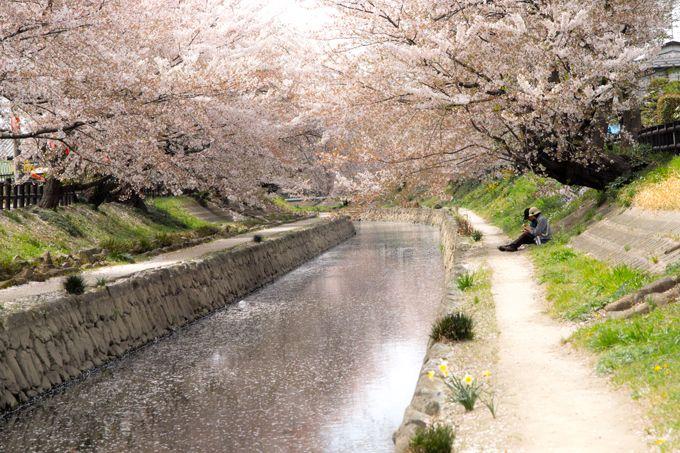500本のソメイヨシノ、2.5kmも続く桜並木