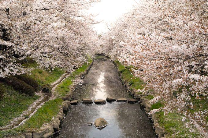 埼玉県鴻巣市吹上で幽玄の花見を!うす紅に染まる元荒川の桜並木!!