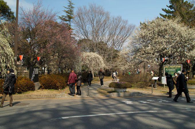 およそ45品種・520本の梅の木