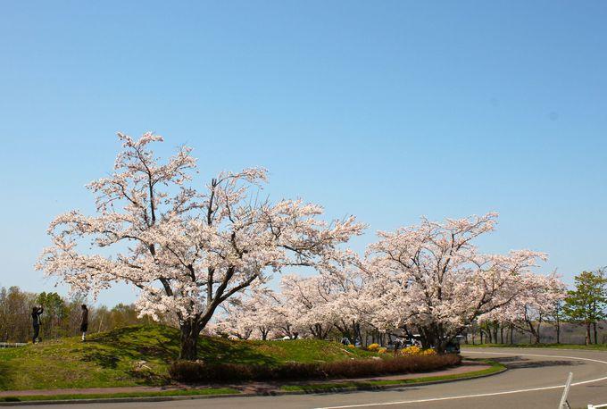 厚田の地に「ソメイヨシノ」を咲かせた物語も!