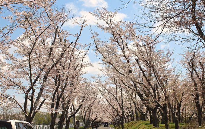 「桜のトンネル」は人気スポット