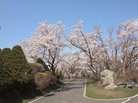 8000本の絶景桜並木!北海道石狩市「戸田記念墓地公園」