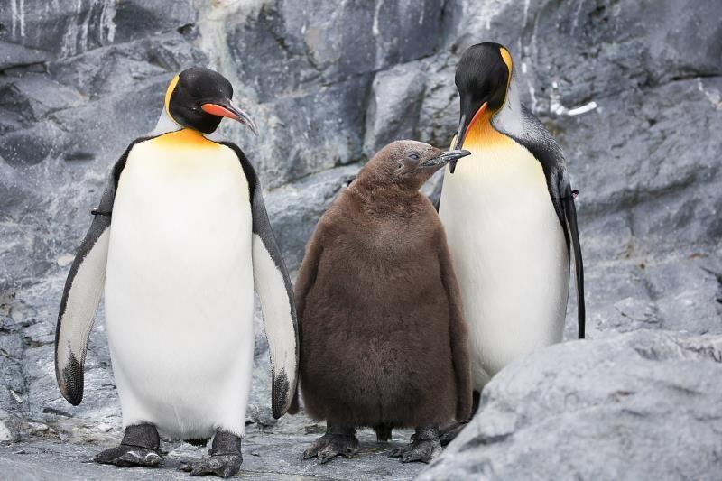 キングペンギンってどんなペンギン?