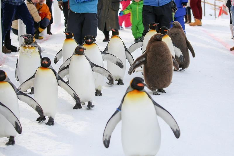 冬の「旭山動物園」期間限定ペンギンの散歩と水中トンネルは必見!