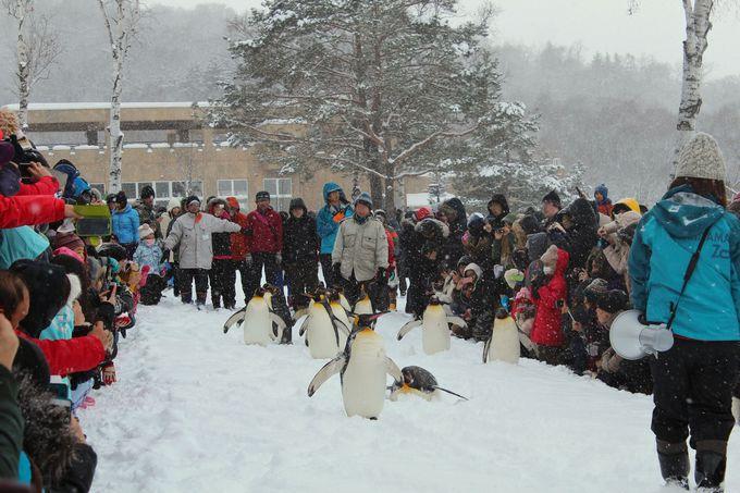 ペンギンの散歩は自主参加
