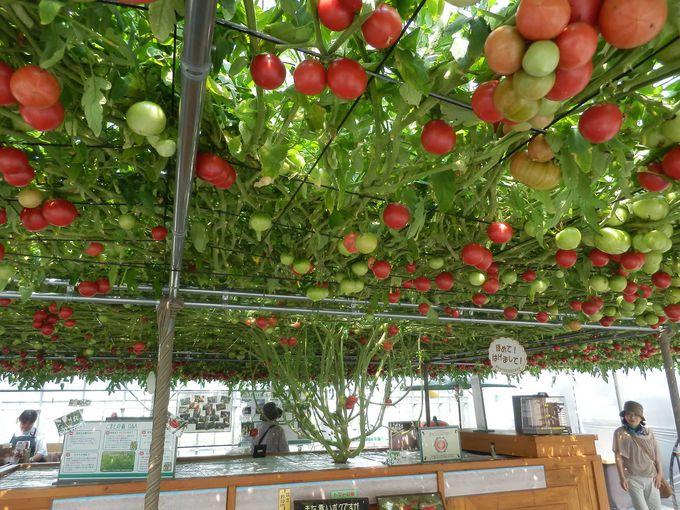 一粒の種からこんなに実る「トマトの森」