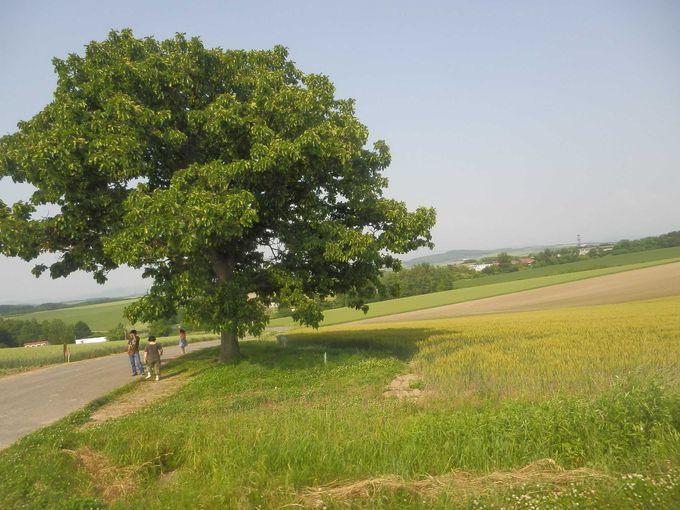 大きくなった「セブンスターの木」