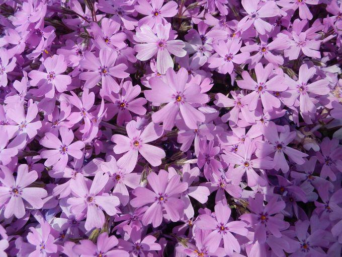 町おこしに繋げた「ひがしもこと芝桜公園」のルーツは!