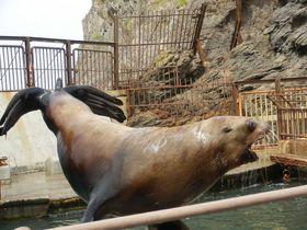 「おたる水族館」トドショーは大人気