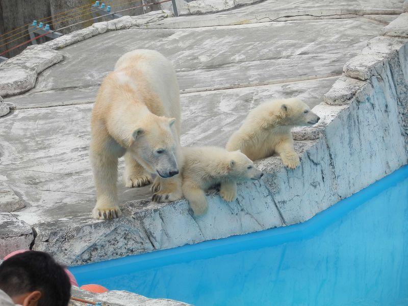 ホッキョクグマの子グマが人気を独占している「札幌円山動物園」