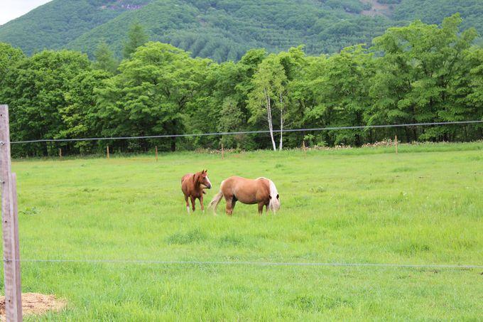 放牧場の馬の親子
