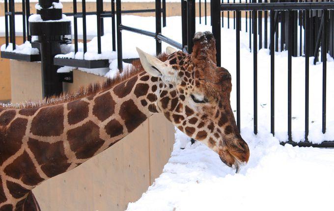雪を食べる「キリン」と空飛ぶ「カバ」も!