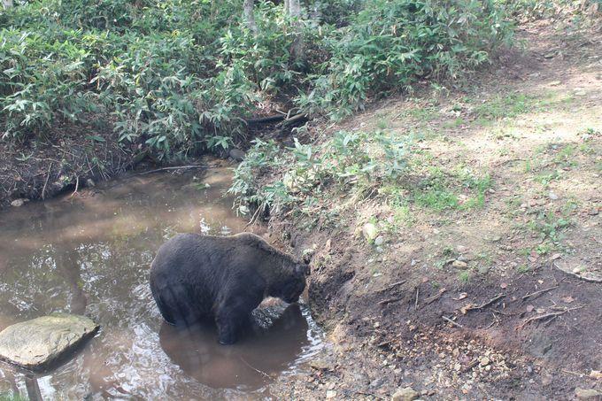 水遊びをしているエゾヒグマ