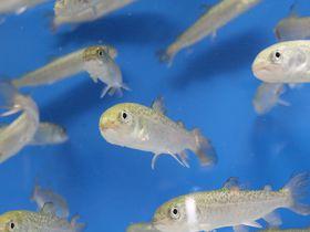 サケ稚魚体験放流に参加しよう!札幌市豊平川さけ科学館