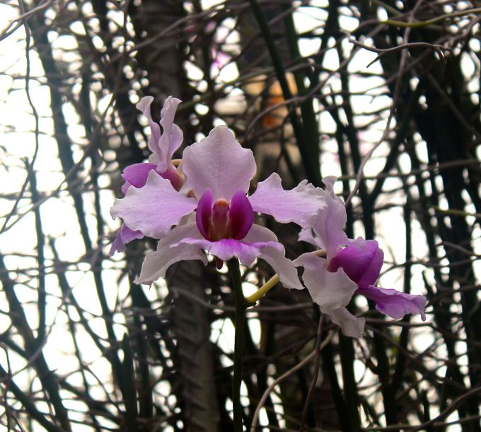シンガポールの国の花「Vanda Miss Joaquim」