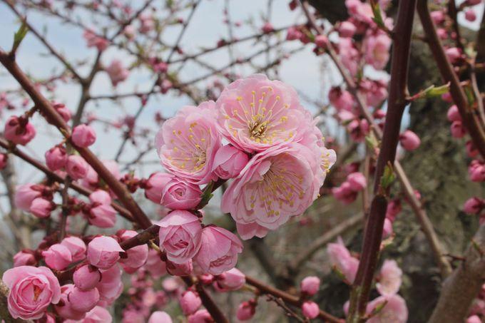 お花もつぼみも愛らしい!