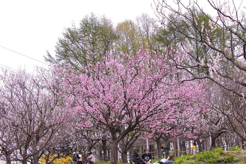 1200本の白梅と紅梅が咲き誇る名所!札幌「平岡公園梅林」
