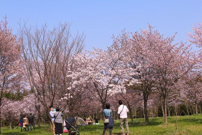 春の人気スポット「サクラの森」