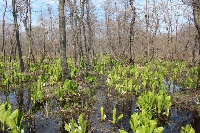 北海道一の水芭蕉の群生地!石狩市「マクンベツ湿原」