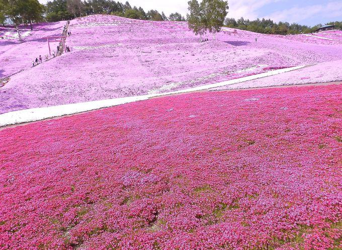 丘の下からの芝桜を鑑賞しよう!