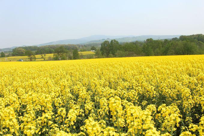 幸せ色の丘から満開の菜の花を鑑賞しよう