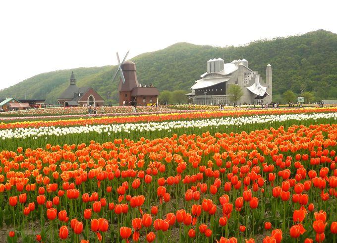 風車と一面のチューリップ「北海道・かみゆうべつチューリップ公園」