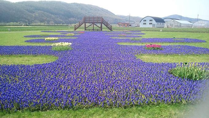 ムスカリとチューリップのコラボ花壇が素敵です!