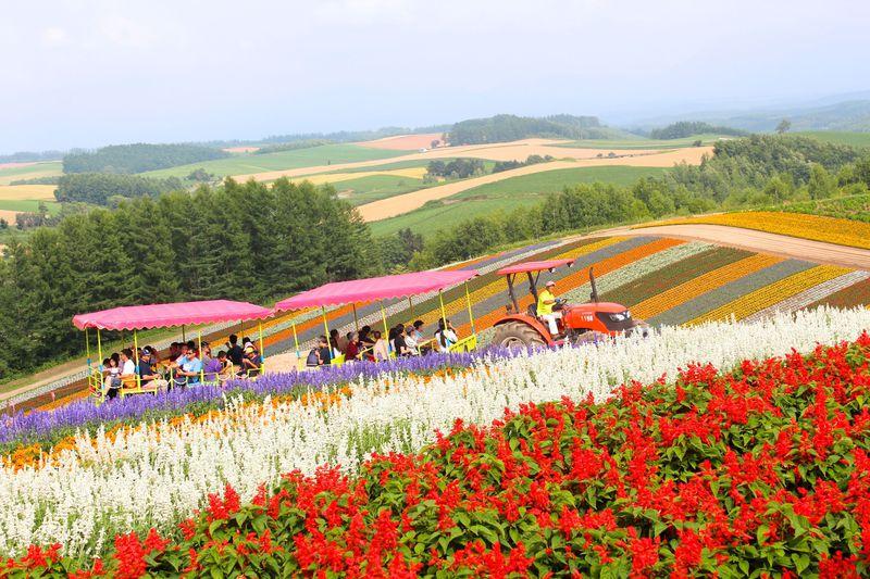 美瑛町「展望花畑・四季彩の丘」をトラクターバスで巡る!