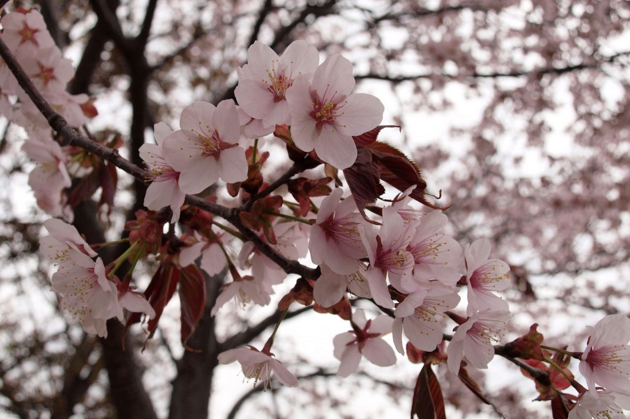 北海道の桜「エゾヤマザクラ」!
