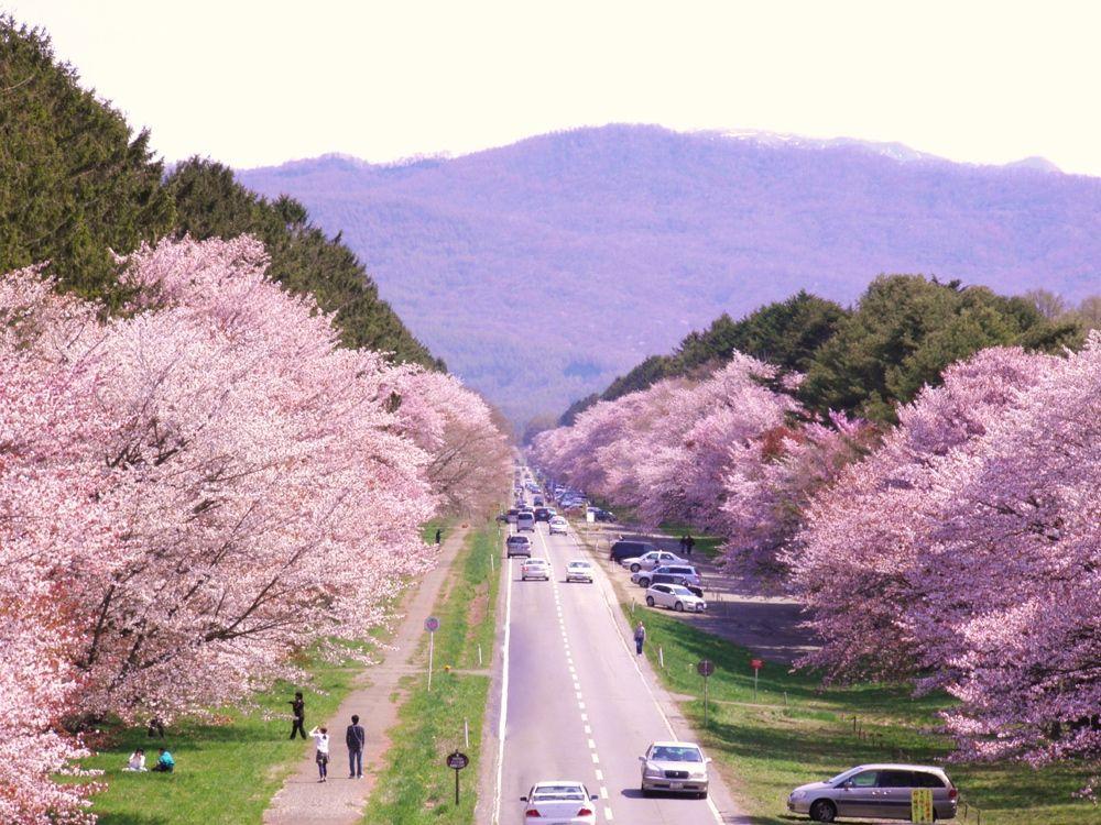 7キロメートルも続く桜並木!