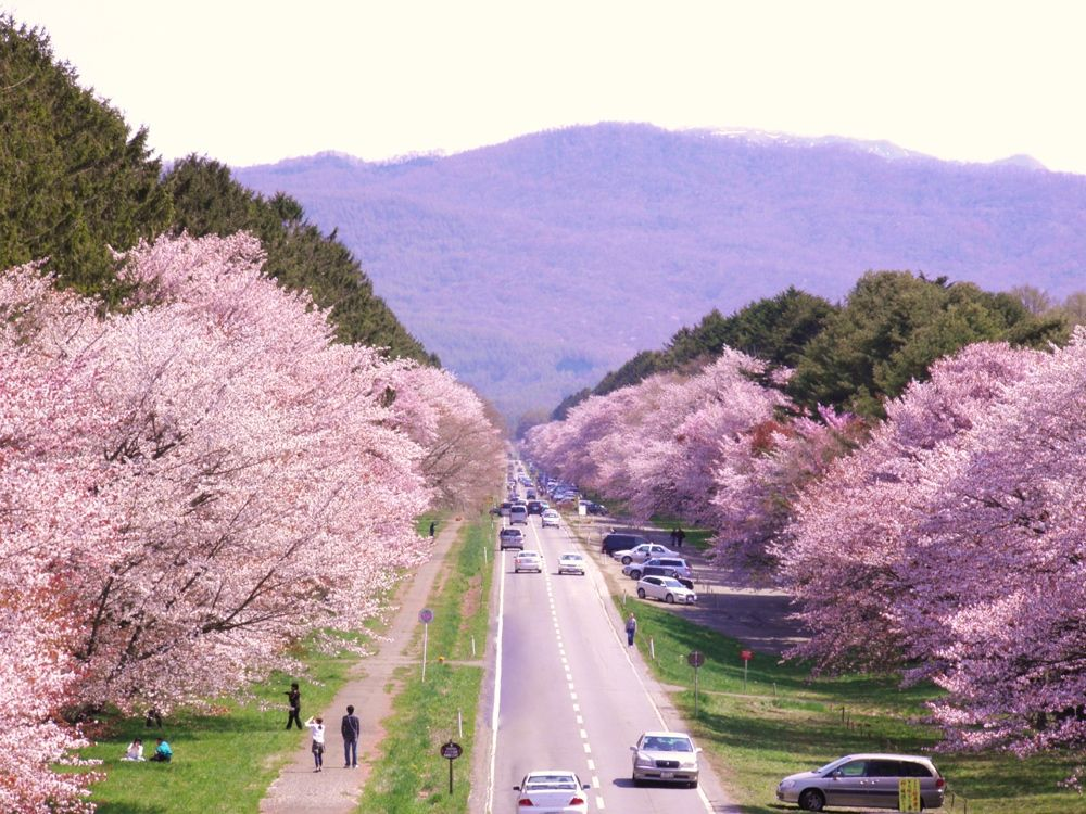 日本一の桜並木はエゾヤマザクラが3000本!北海道「静内二十間道路」