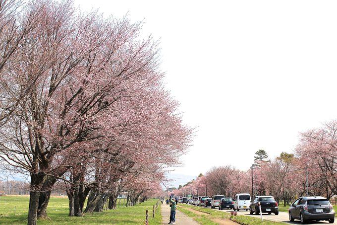 「静内二十間道路桜並木」の始まりは?