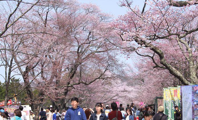 300メートルの桜のトンネルが続きます!