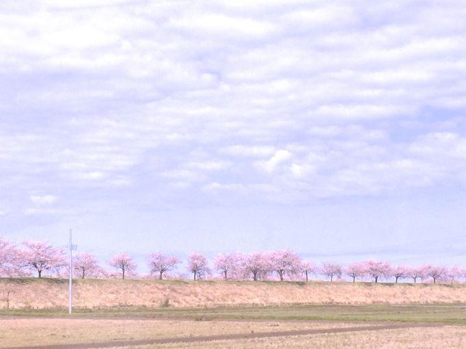 こうして復元された美しい桜並木!