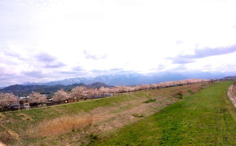 かつては日本一!新潟県「加治川」の2000本の桜並木が美しい!
