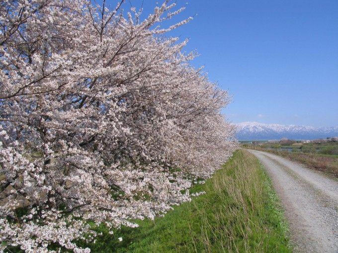 残雪の残る山々と桜のコントラストが素敵です!